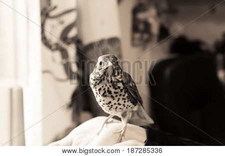 Young Song Thrush (Turdus Philomelos) sitting on a human hand in a room near the window. Monochrome image selective focus on the bird's head.