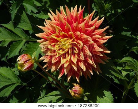 A brightly colored dahlia and two buds getting ready to show off their sunshine colored pedals enjoy he afternoon sunshine.