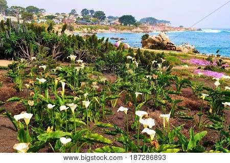 Calla Lily Flowers at a garden overlooking the Pacific Ocean taken in Monterey, CA