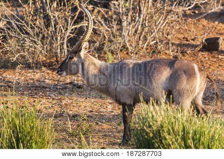 Waterbuck antelope found on a photo safari.