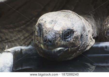 An Aldabra Tortoise Eating In A Zoo