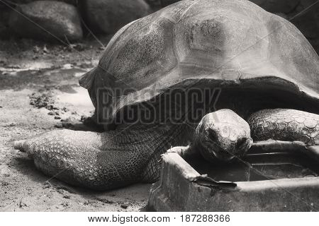 A Black And White Aldabra Tortoise Eating In A Zoo