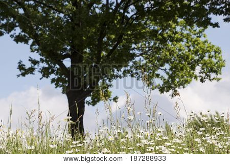 Nature Background with tree and blossoming daisy flowers. Flower meadow Summer with selective focus.