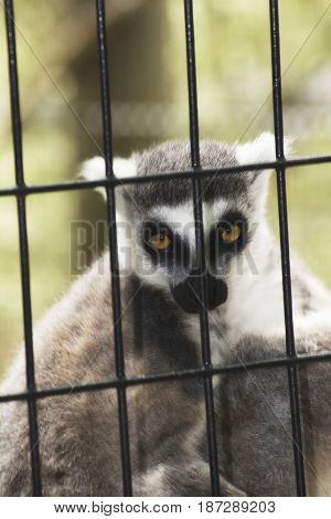 A lemur in a cage in a zoo