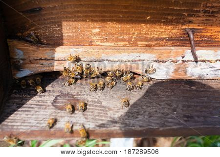 Bee With Pollen That Enter In The Hive
