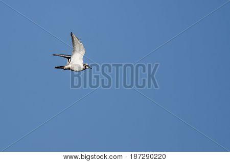 Killdeer Flying in a Clear Blue Sky