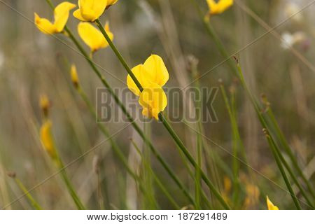 Flowers of a Spanish broom bush (Spartium junceum)