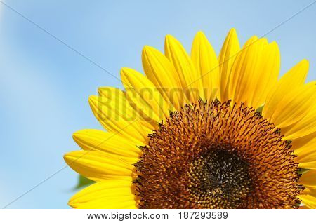 Yellow Big Sunflower And Blue Sky