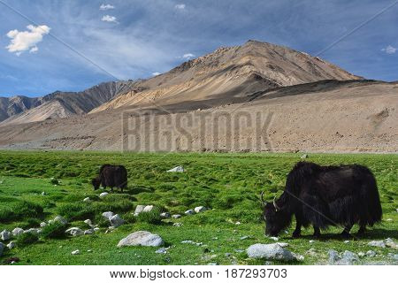 The huge black furry Tibetan yaks graze on the high mountain pasture among the high hills Northern India.