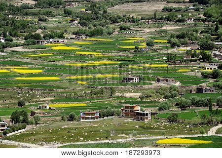 High mountains Tibetan village: terraced farming green and yellow fields of rice and barley small poor houses peasants in the middle of vegetation India.