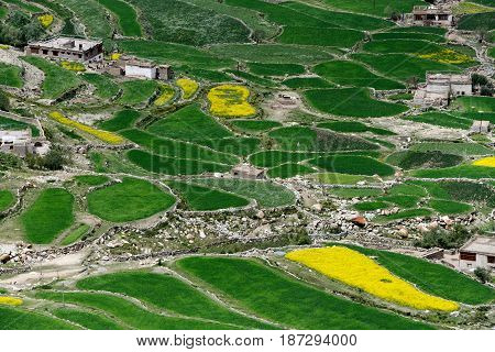 Old Tibetan settlement in the high mountains of the Himalayas: rounded irregularly shaped barley fields bright green color and gray clay poor houses are metulous residents India.
