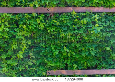 Green Leaves On A Wall With Metal Pipes Texture