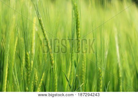 green wheat closeup
