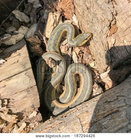 Eastern Garter Snake basking coiled in the sun among logs and leaves.