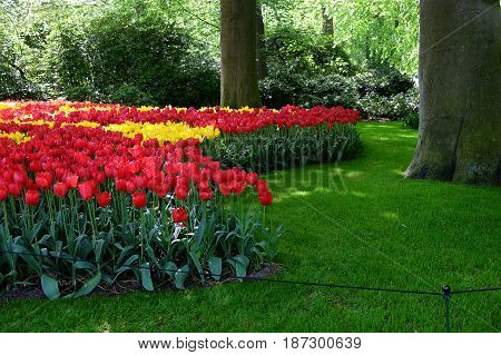 Flower bed of yellow and red tulips in the shade of trees in the Royal Keukenhof Park