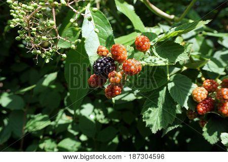Blackberries ripen on thornless blackberry plants in a garden in Joliet, Illinois during July.