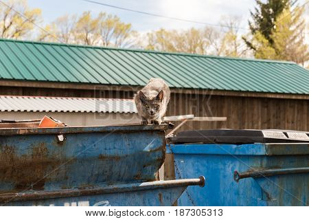 Gray cat looking intensely at camera while perched on a blue garbage dumpster.