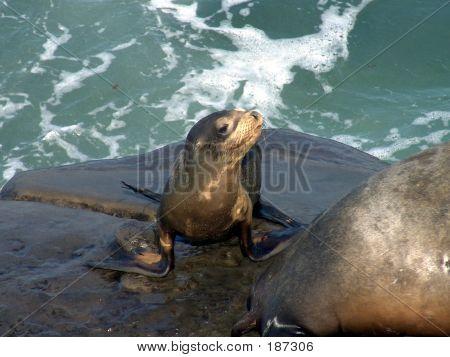 Seal Pup