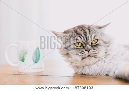 Cute Persian Cat Or Chinchilla Cat Lying On The Wooden Table.
