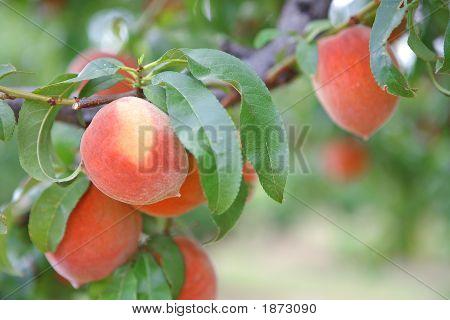 Orchard Peaches On Tree