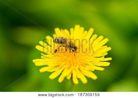 Macro of bee pollinate dandelion flower in sunny day