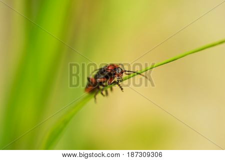 Macro of firefly on grass thread in sunny day