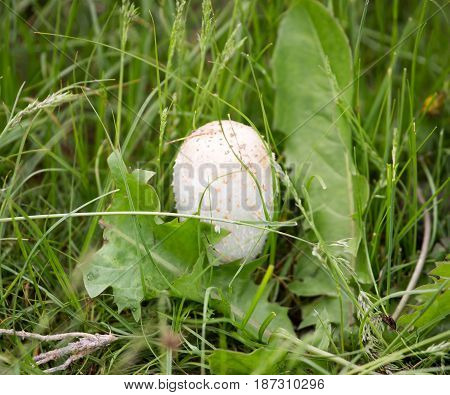 White mushroom on nature in the grass .
