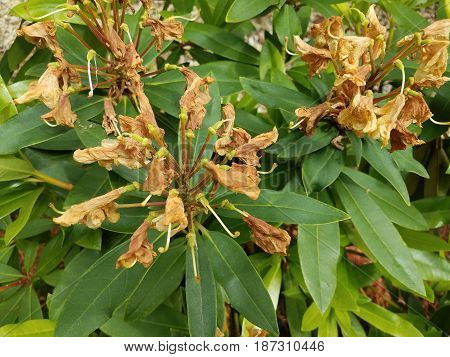 green plant with wilted brown dying flowers