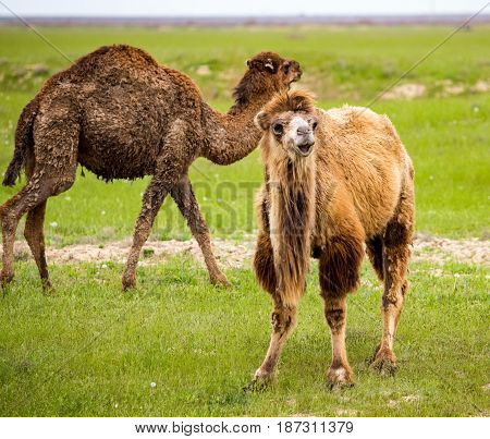 Portrait of camel on nature in spring .