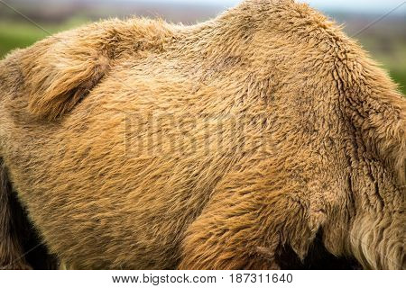 Old wool on a camel as a background .