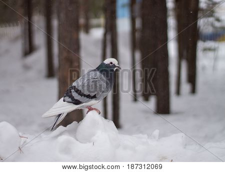 Pigeon sits on the snow. Bird in forest.