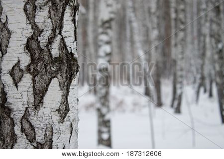 Winter Forest. Walking in the wood. Trees and snow in Siberia.