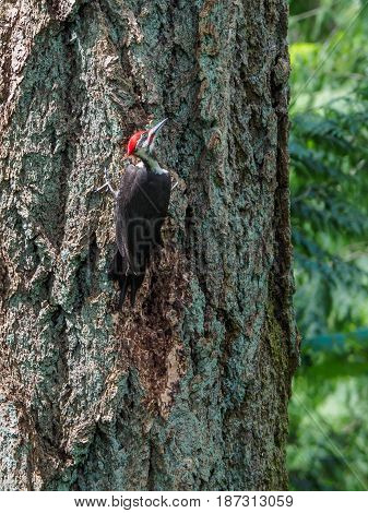 The pileated woodpecker (Dryocopus pileatus) is pecking at the tree