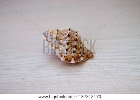 Sea shell on a light wood background.