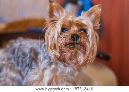 Closeup Yorkshire terrier. Beautiful puppy. Close up.