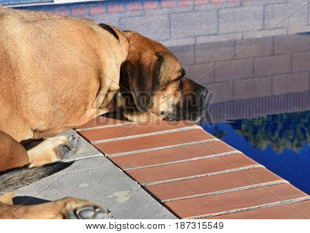 A Mastiff is gazing into the pool