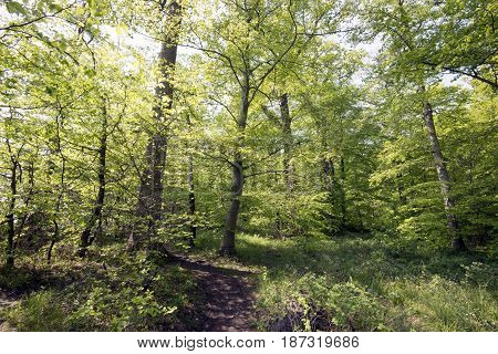 Early springtime through a big Danish beech forest. Light green leaves all over.