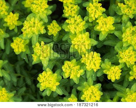 Yellow euphorbia flavicoma plant from the top