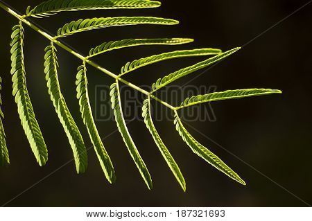 Mimosa plant leaf with leaflets closed to the stem