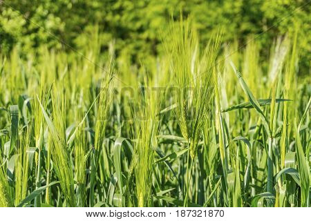 Beautiful green field with young wheat. Stock image.