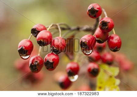 Autumn red berries hanging from twigs without leaves