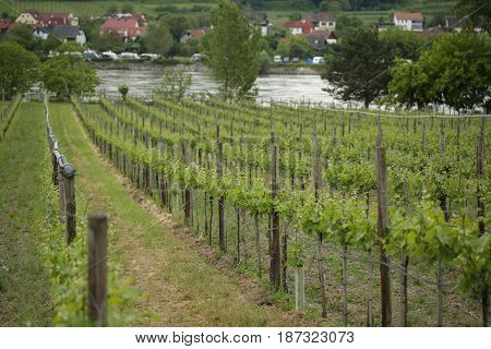 Pattern of rows of grape vines in vineyard in the Wachau Valley on the banks of River Danube in Austria.