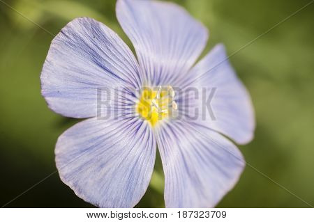 Linen flax plant blue flower in full bloom