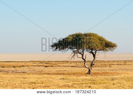 Landscape with a thorn tree and grassland, Etosha National Park, Namibia