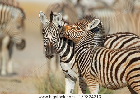 Plains zebra (Equus burchelli) interaction, Etosha National Park, Namibia