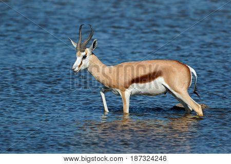 A springbok antelope (Antidorcas marsupialis) walking in water, Etosha National Park, Namibia