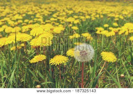 Dandelions in a meadow. White dandelion blowing
