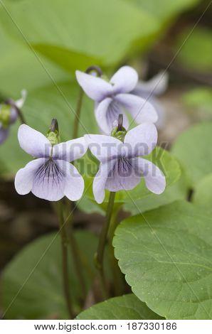 Viola palustris (marsh violet) flowers close up shot
