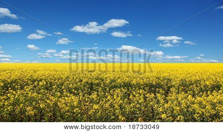Yellow field against the blue sky