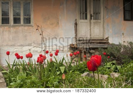 Old dilapidated rustic house facade with flowerbed of red tulips